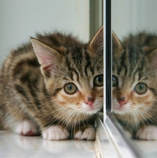 kitten_and_partial_reflection_in_mirror